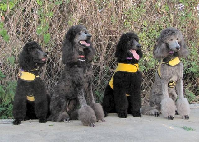 Four Alexander poodles in training.